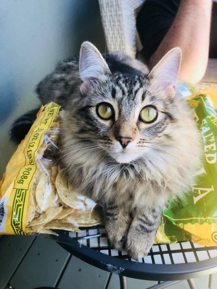 Arya the siberian cat laying on a bag of chips.